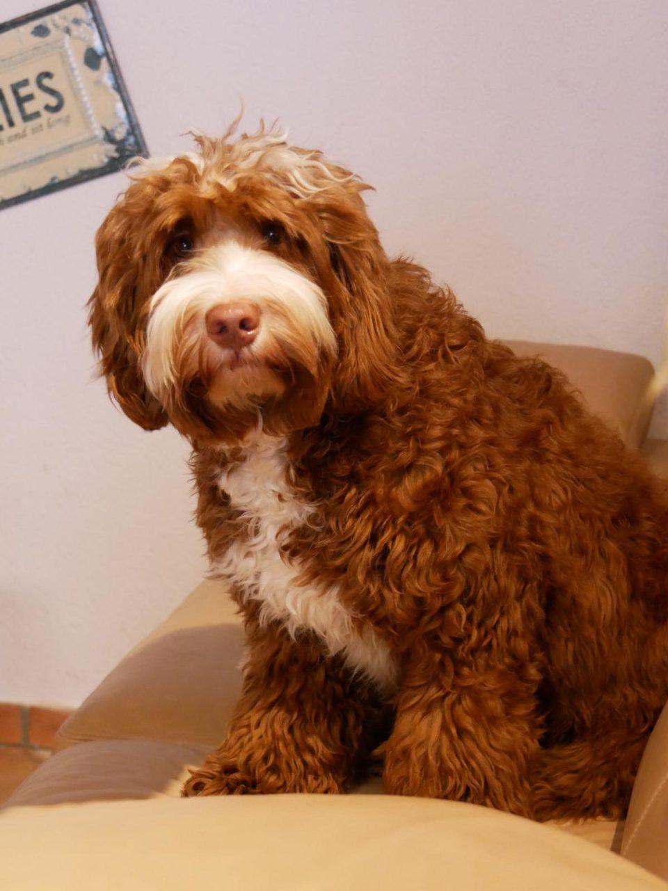 Wavy Harmony Original Australian Labradoodle Hundezucht